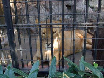 野毛山動物園の雌ライオン、シンクさん