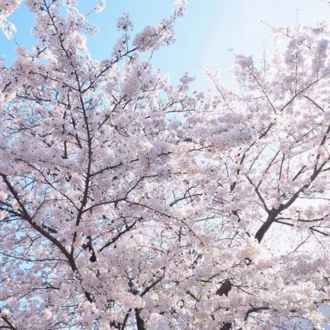 「春爛漫 ~桜とアート三昧 in 横浜」by張穎
